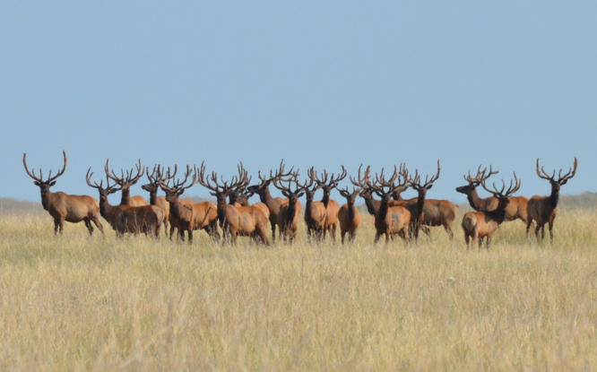 herd of elk evolution