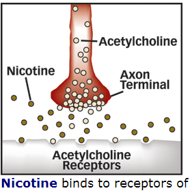 nicotine-tobacco-acetylcholine2.png