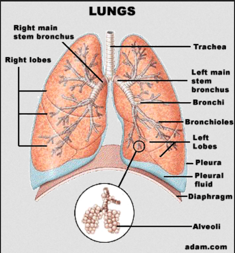 lung lobes leopold 1